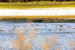 Moose Lake, Red Pass (aud.watson) Tags: canada britishcolumbia bc fraserfortgeorgeregionaldistrict yellowheadhwy route16 mooselake fraserriver morainelake borealforest fraserfortgeorgeh ca lake shore water shoreline geese bird birds duck ducks panorama snow