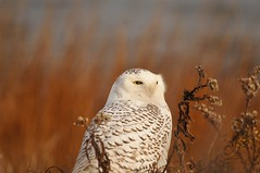Snowy Owl (samsimon17) Tags: birds birding nature wildlife outdoors photography cool awesome 2017 snowy owl white black barring barred ct connecticut long beach park ocean sand yellow eyes grass grasses