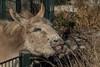 Heute wird auswärts gegessen (marionB-fotografie) Tags: tier tiere animal animals esel zwergesel pferde nikon d7100 zooberlin