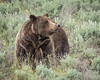 Mother Grizzly in Tetons National Park (grimeshome) Tags: grizzly grizzlybear tetons grandtetonnationalpark grandtetonsnationalpark nationalpark tetonnationalpark sow grizzlysow mothergrizzly