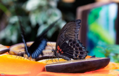 Im Schmetterlingshaus (roland_lehnhardt) Tags: allgäu canon eos60d ef100mmf28usm macro makroaufnahme nahaufnahme tiere animals butterfly lepidoptera allgäuerschmetterlingerlebniswelt schmetterlinge insekten closeup