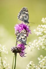 Schachbrettfalter auf Distel 2 (Marcus Hellwig) Tags: schmetterling mariposa farfalla flower falter fleur schachbrettfalter blüte blume butterfly natur nature natura naturalleza naturo melanargiagalathea distel