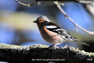 the dark knight chaffinch