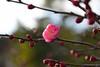 20180205_041_2 (まさちゃん) Tags: 紅梅 梅 梅の花
