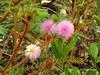 Cerrado´s flower (✿ Graça Vargas ✿) Tags: flower graçavargas ©2018graçavargasallrightsreserved flordocerrado cerrado´sflower wildflowers 14901140218 mimosapudica dormideira sensitiva
