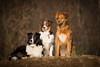 Summer, Clairis und Maggy alias Margarete;-) (Simone Schloen ☞ www.bilderimkopf.de) Tags: aussies hunde rudel hund