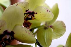 Orchidées de Juliette (bd168) Tags: jaune yellow orchidées orchids 90mm fujifilm xt10 beautiful nature fleurs flowers