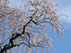 almost abstract (theodehaan) Tags: spain andalucia axarqia almondtree winterscene pinkblossom