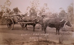 Chinaman carting firewood in Darwin, Northern Territory - very early 1900s (Aussie~mobs) Tags: jackbuscall chinaman cart bullock firewood darwin australia northern territory aussiemobs