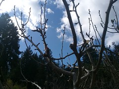 Winter Fruit Tree Pruning (santacruzpermaculture) Tags: trees pruning fruit winter