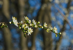 13 febbraio 2018. Segnali di primavera. Signs of spring (adrianaaprati) Tags: flowers flowering buds hawthorn branches tree park nature blur white outdoors bokeh sky