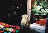 Emma and the Bowtie (thedailyjaw) Tags: nikonfe nikon analog film filmphotography ektar ektar100 christmas bokeh christmastree xmas family love christmasbokeh lights colors presents gift husband dog