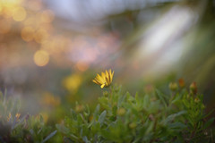A January Dream.. (KissThePixel) Tags: flower flowers macro bokeh bokehwednesday bokehlicious dofalicious light sunlight beauty winter january yellow yellowflower grass bloom nikon nikondf 50mm primelens nikkor nikkor12