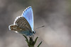Argus bleu ( UNIXetvous ) Tags: papillon butterfly insecte insect bokeh argusbleu