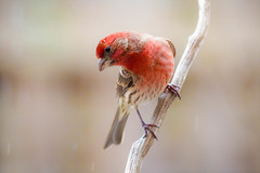 House Finch (Vladimir Grablev) Tags: songbirds birds perching nature