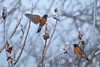 Sumac Buffet - P3250457 (Pamela Beale) Tags: robin robins pair birds sumac ice winter frozen freeze berries food foliage ontario canada spring storm wings orange black grey gray animals red