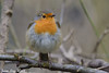 Jean-Luc Wolf_2018-02-18_11-12-18 (Jean-Luc Wolf) Tags: oiseaux parcdesceaux rougesgorges sceaux antony îledefrance france fr
