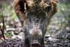 Wild Boar (ch.gunkel) Tags: deutschland fauna germany schönbuch tier tierwelt wildgehege wilschwein animal boar forest hog nature wildboar
