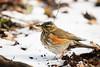 Redwing (Susanne Leyh) Tags: redwing thrush bird animal rotdrossel drossel tier vogel nature winter wildlife britishwildlife snow outside outdoors nikon nikkor