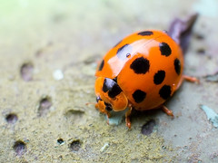 Connecting The Dots (Jimweaver) Tags: insect focus macro bright oval cute lovely taiwan taipei stream mountain nature orange 瓢蟲 橘紅 山 溪 台北 台灣 昆蟲 綠 可愛 微距 asia 亞洲