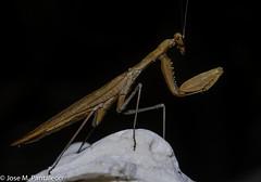 2-El color del adulto lo determina el del medio en el que habita durante su última muda (por ejemplo, amarillo, si se trata de paja seca, o verde, si es hierba fresca).  Es el único animal conocido que cuenta con un único oído, y lo tiene en el torax! (Cimarrón Mayor 12,000.000. VISITAS GRACIAS) Tags: kingdomanimalia phylumarthropoda classinsecta ordermantodea familymantidae subfamilystagmomantinae genusstagmomantis lugardecapturaislabeata repdominicana dominicanrepublic quisqueya repúblicadominicana caribe républiquedominicaine caraïbes caraibi repubblicadominicana dominikanischerepublik karibik karaiby dominikana dominikarerrepublika karibe dominikanskerepublik caribien dominikanskerepublikk karibien доминиканскаяреспублика карибскийбассейн cimarrónmayor panta pantaleón josémiguelpantaleón objetivo500mm telefoto700mm 7dmarkii canoneos canoneos7dmarkii naturaleza libertad libertee libre free fauna dominicano montañas