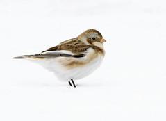 Snow Bunting (snooker2009) Tags: bird nature wildlife snow bunting winter migration fall spring pennsylvania