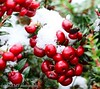 It looks like Christmas (Please follow my work.) Tags: berries brilliant brilliantphoto colour d7100 england flickrcom flickr excellentphoto google googleimages gb greatbritain greatphotographers greatphoto garden image interesting ls27 mamfphotography mamf nikon nikond7100 northernengland photography photo photograph photographer quality red snow uk unitedkingdom westyorkshire