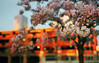 not long to wait, part three (manyfires) Tags: film analog sakura pdx portland oregon pnw pacificnorthwest cherrytrees cherrytree flowers spring blossom bloom pink downtown waterfrontpark oldtown building sunrise golden magichour