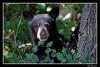 Black Bear cub watching me (billthomas_steel) Tags: bear blackbear cub wildlife britishcolumbia mammal canada canon eos7d fraservalley