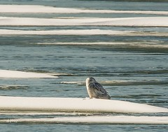 Lonely Snowy . . . (Dr. Farnsworth) Tags: owl snowyowl ice snow water pond lagoon female muskegon mi michigan winter january2018