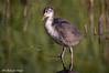 Folaga _007 (Rolando CRINITI) Tags: folaga uccelli uccello birds ornitologia castellapertole natura