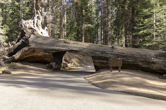 Tunnel Log (rschnaible (Not posting but enjoying your posts)) Tags: sequoia national park us usa west western sierra nevada mountains california tunnel log landscape outdoor