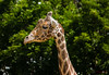 Jimmi - Glowed (Donald.Gallagher) Tags: animals giraffe glow horizontal lenstagger md mammals maryland nature northamerica plumptonparkzoo public risingsun summer topazstudio typecolor typelightroom typeportrait typeshutterbuttonfocus typetelephoto usa zoo