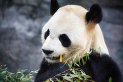 Toronto Zoo Luminar2018 (KWPashuk) Tags: nikon d7200 tamron tamron18400mm lightroom luminar luminar2018 kevinpashuk kwpashuk panda bear wildlife eating bamboo animal toronto zoo ontario canada torontozoo nature outdoors