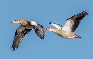 JWL0191 Egyptian Geese..