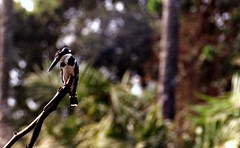 Lesser pied kingfisher (Peter Denton) Tags: fauna bird lesserpiedkingfisher cerylerudis africa nature gambia abukonationalpark naturereserve 35mm film scanned ©peterdenton tree branch