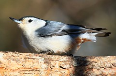 white-breasted nuthatch at Lake Meyer Park IA 854A9263 (lreis_naturalist) Tags: whitebreasted nuthatch lake meyer park winneshiek county iowa larry reis