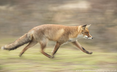 Fox on the Run (Alastair Marsh Photography) Tags: fox foxes foxvixen redfox redfoxvixen femalefox vixen animal animals animalsintheirlandscape wildlife movement move run running panning motionblur motion hol holland netherlands dutch dun dunes