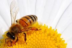 bee (marco.falaschiii) Tags: bee ape fiore margherita daisy giallo yellow bianco white insetto insect fiori api macro flower