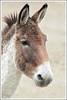 Kiang (Gerrit Nitsch) Tags: equuskiang tibetwildesel pferd säugetier esel tibet