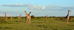 Ten Giraffe panaramic -  close to the Etosha National Park - Namibia. (One more shot Rog) Tags: namibia african africa giraffes giraffe nature etosha etoshanationalpark tallest africangiraffe animals safari savanna waterhole waterholes