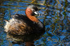 Mergulhão-pequeno (Tachybaptus ruficollis) ♂ (Isabel Kardoso) Tags: ave pequeno
