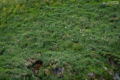 Bird rock Borgarfjorðarhöfn (dieLeuchtturms) Tags: lunde borgarfjörðurhöfn 3x2 alkenvögel meer europa austurland fjord island ostfjörde regenpfeiferartige wirbeltiere küste borgarfjorðureystri papageitaucher eastfjords europe fraterculaarctica iceland coast puffin sea shore is