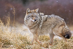 Wind Blown Coyote In Snow Storm (AlaskaFreezeFrame) Tags: coyote winter fall alaska ice nature outdoors wildlife canon alaskafreezeframe cute action frosty telephoto cold snowing windy blowing hunting closeup portrait grass ruffled