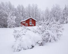 The red cabin (andreassofus) Tags: winter snow landscape nature cabin redcabin wintertime cold freezing frost trees white red sweden january värmland glaskogen glaskogensnaturreservat sky nopeople
