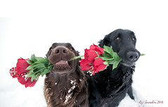 My Funny Valentines (Blazingstar) Tags: valentine valentines day dogs dog flatcoated retriever snow roses red