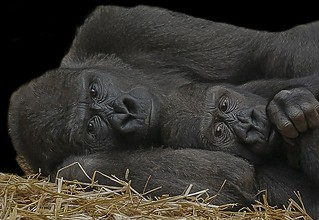 Mother and child (Gorilla)