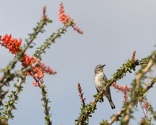 Ocotillo Blossoms with Warbler