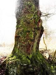 Uralte Eiche im Nebel (nordelch61) Tags: wald wälder baum bäume ast äste zweig zweige wurzel wurzeln rinde blatt blätter knorrig urrig