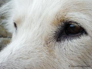 @ringowhitedog #perro #dog #nariz #nose #hocico #ojos #eyes #mirada #look #2016 #maro #málaga #andalucía #españa #spain #animal #whiteshepherd #pet #petsgram #love #arena #sand #naturaleza #nature #macro #photography #photographer #picoftheday #manuelaagu